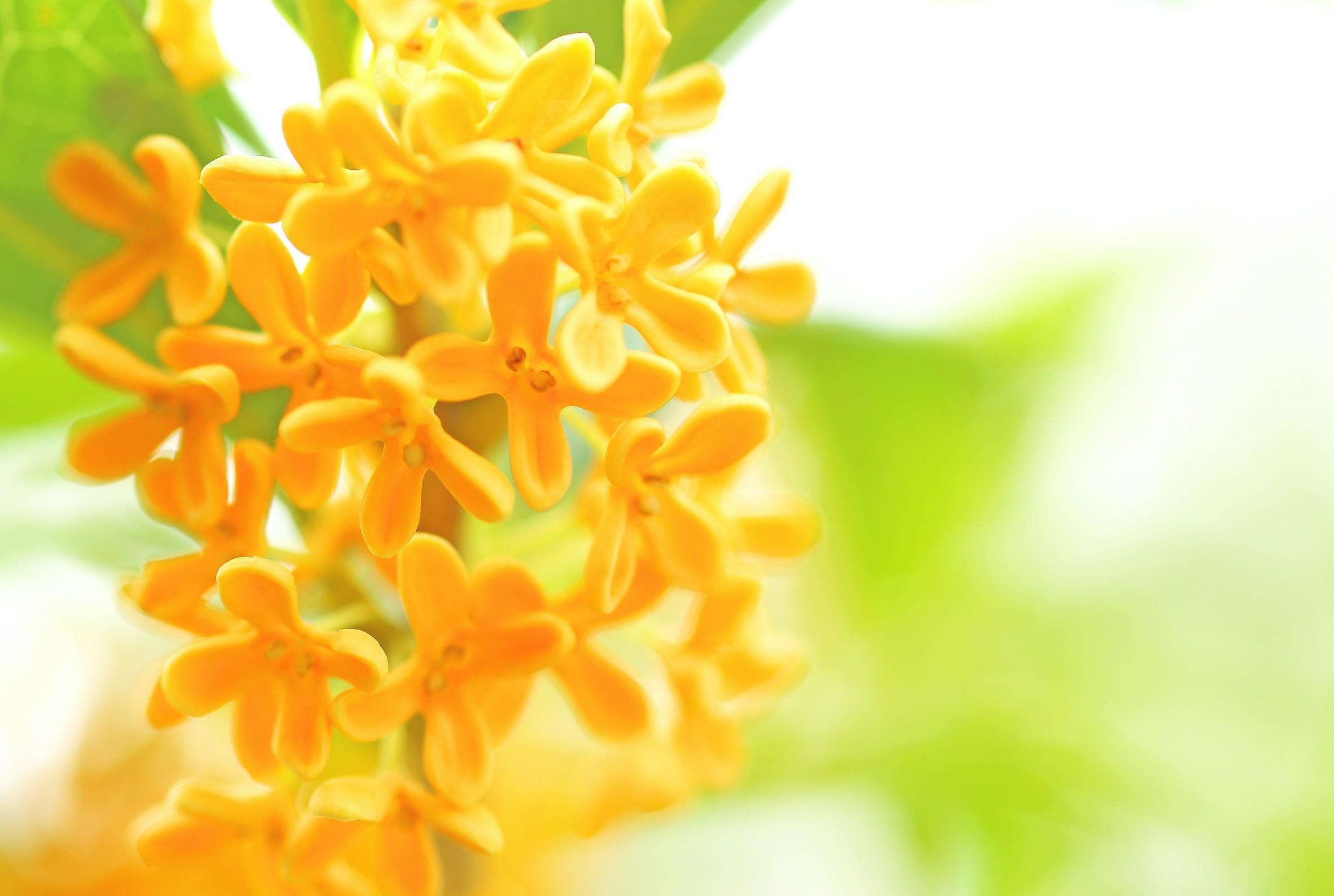 金木犀 香水 花